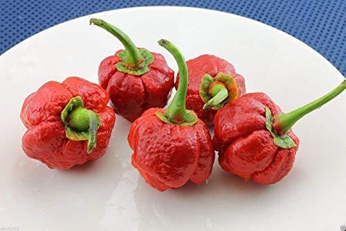 Fash Lady 7 Pod Bubblegum Chili - Einer der heißesten Chilli Pfeffer (20 + Samen)