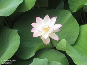 indische Lotosblume / Indian Lotus (Saatgut, Samen)