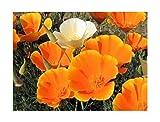 Kalifornischer Goldmohn - Mohn - 500 Samen