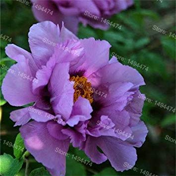 Vistaric 10pcs / sac mixte couleur pivoine graines Chinois rose graines Arbre Pivoine Graines belle Décoration bonsaï fleur plante pour la maison jardin 3
