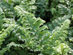 Gekräuselter Wurmfarn - Dryopteris filix-mas 'Crispa Cristata' - Farn von Staudengärtnerei bei Du und dein Garten