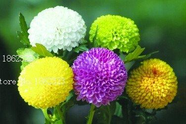 hot! 20 colori 50pcs / pack semi di fiore del crisantemo semi crisantemo copertina morbida bonsai balcone
