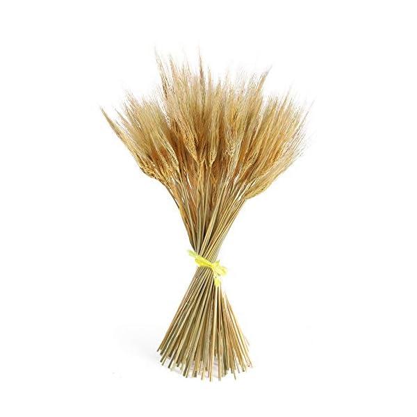 HUAESIN 100pcs Ramo Trigo Seco Natural Espigas de Trigo Artificial Flores Secas Decoracion de Invierno Fiesta Flores…