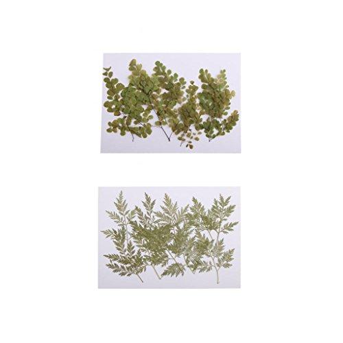 Sharplace 20 Stück Gepresste Getrocknete Blätter Blumen Für Scrapbooking Karten Machen (Blatt Gepresstes)
