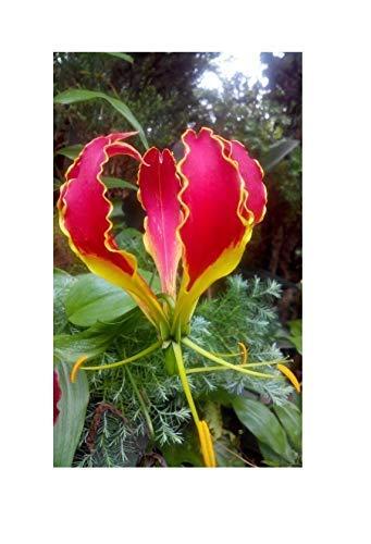 5x Gloriosa Rothschildiana Superba Ruhmeskrone Tigerklaue Samen #13