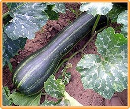 Bobby-Seeds Kürbissamen Longue de Nice Portion