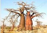 Fresca Baobab Adansonia digitata (Rara Bonsai Semilla exótico Botella Floración) 10 Semillas