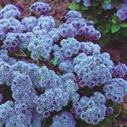 Galleria fotografica Fiore - Kings Seeds - Confezione Multicolore - Agerato - Blu Ball