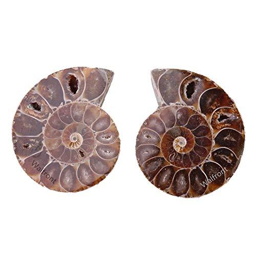 2pz conchiglia fossile esemplare ammonite madagascar estinse pietre naturali e minerali per l'istruzione scientifica di base biologia(diametro 4cm)
