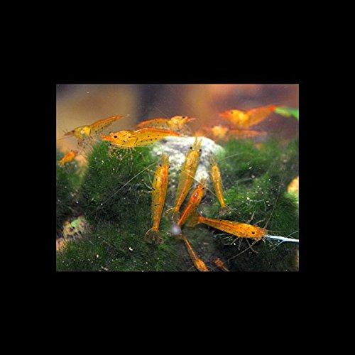10 Stück Caridina cantonensis Tangerine Tiger - Goldne Tiger Garnele