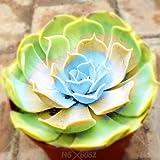 AGROBITS suculentas 100pcs bonsai color de la mezcla en macetas plantas suculentas Perenne Planta de interior flor de cactus piedra ornamental para jardín de su casa: 14