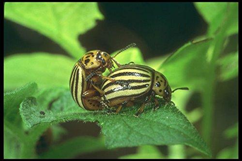 240032-colorado-potato-beetle-mating-a4-photo-poster-print-10x8