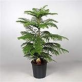 Zimmertanne 130-140 cm Araucaria heterophylla Norfolk-Tanne Zimmerpflanze