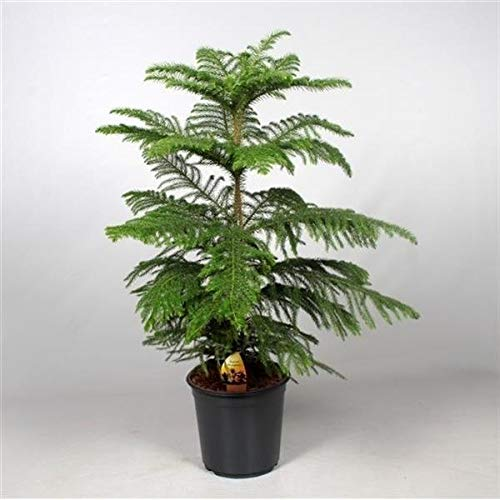 Zimmertanne 100-120 cm Araucaria heterophylla Norfolk-Tanne Zimmerpflanze