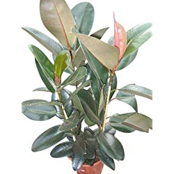 Zimmerpflanze für Wohnraum oder Büro – Ficus elastica – Gummibaum. Höhe 90cm