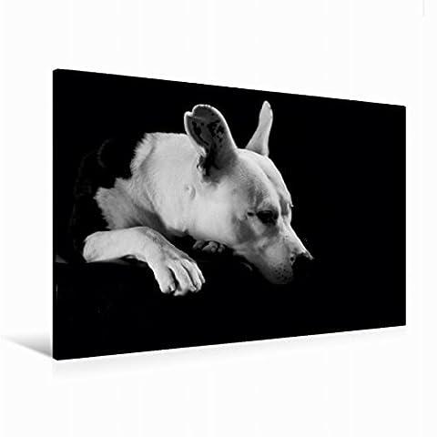 Leinwand Cheyenne - American Stafford x Dogo Argentino-Mix, 2 Jahre 120x80cm, Special-Edition Wandbild, Bild auf Keilrahmen, Fertigbild auf hochwertigem Textil, Leinwanddruck, kein Poster