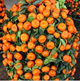 Pinkdose 50 PCS Klettern orange Samen Mini Topf Essbare Fruchtsamen Bonsai China Top-Qualität Climbing Orange Tree Seeds Kletterpflanzen: mix