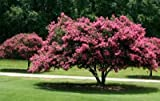Kreppmyrte 5 Samen Crape Myrtle Pink