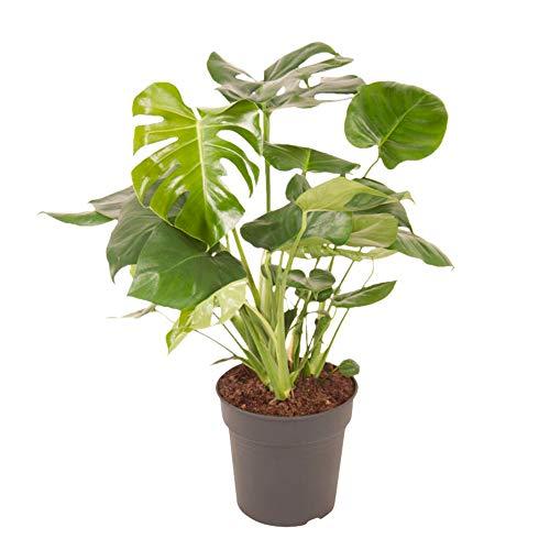 BOTANICLY   Plantas naturales   Altura: 70 cm   Monstera Deliciosa Struik