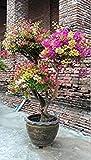 Vista Freies Verschiffen 100 Mix Farbe Bougainvillea Balkon Topf, Yard Bonsai Blume Pflanze immens auffällig, blühende winterharte Pflanze 10