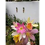 Urban Gardens Rare Mixed Rain Lily Bulbs Mix, Zephyranthus, Rain Lilies or Fairy Lilies 10 Pcs