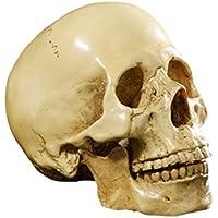 Yundxi 1: 1 Lebensgroß Menschlichen Schädel Totenschädel Figur Modell für Anatomischen Medizinischen Lehre Wohnzimmer Sammlung Dekor