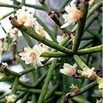 Rhipsalis baccifera seeds