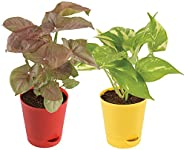 Ugaoo Indoor Plants With Pot For Home - Syngonium Pink & Money Plant Varieg