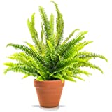 Helecho de Boston Nephrolepis Exaltata Planta Natural con Maceta de Cerámica Helecho Espada