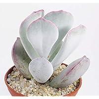 Portal Cool Cotiledón orbiculata, de hojas anchas Formulario colorido