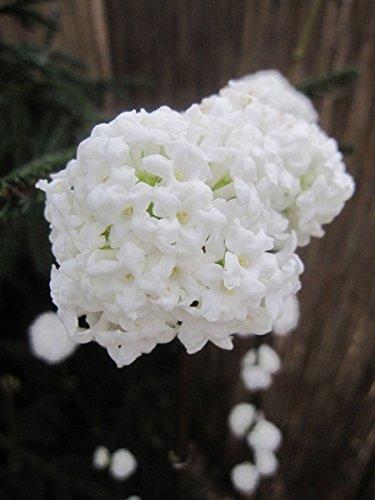 Viburnum farreri candidissimum - Duftschneeball candidissimum
