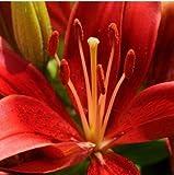 Fash Lady Semillas de Lirio, Semillas de Lirio de Perfume, Mezcla de Diferentes variedades Semillas de Flores- 100 Piezas 18