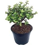 Plants Villa Live Jade Good Luck Indoor Air Purifier Plant With Pot