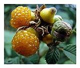 Rubus ellipticus - Gelbe Himalaya-Himbeere - Himalaya-Wildhimbeere - 10 Samen