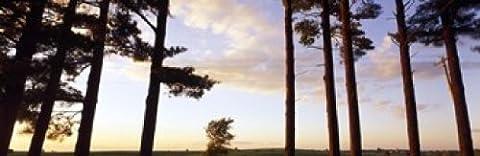 Panoramic Images – Low angle view of pine trees Iowa County Wisconsin USA Photo Print (91,44 x 30,48 cm)