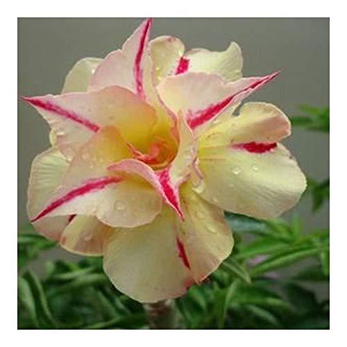 Adenium obesum Tongnopprakun - Rose du désert - Faux baobab - 3 graines