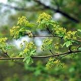 Ahorn, Feld-Ahorn - Starke Pflanze im 5L Topf