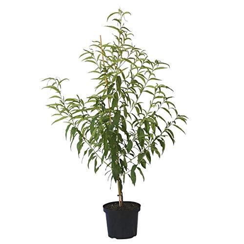 Müllers Grüner Garten Shop Pfirsichbaum Dixired, süßer Pfirsich Buschbaum 120-150 cm 10 Liter Topf, Unterlage: Prunus pumila