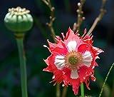 Plantree Lattuga da oppio: semi di Ca da oppio lattuga Peperoncino piccante rosa albizia zucchine Fefferoni Lotto