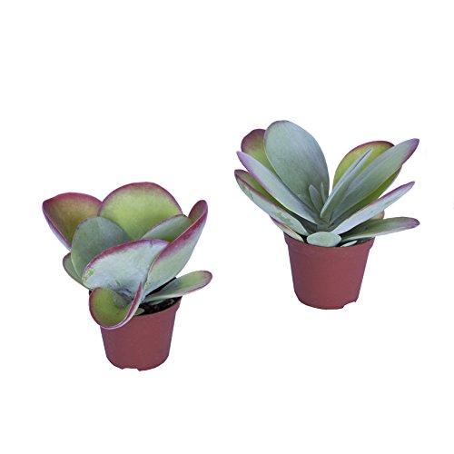 Wüstenrose/Wüstenkohl, (Kalanchoe thyrsiflora), 2 Pflanzen in 10,5cm Topf