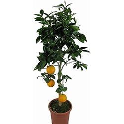 Orangenbaum - Citrus Sinensis