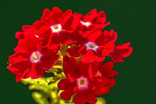 La verbena del jardín - flores rojas con un punto blanco; verbena de jardin - 120 semillas