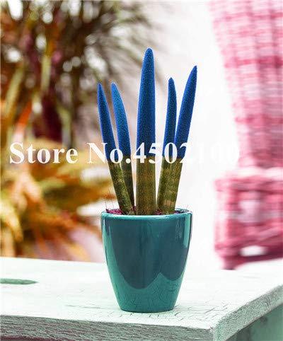Bloom Green Co. Â 100 Unids Aglaonema Spp Sansevieria