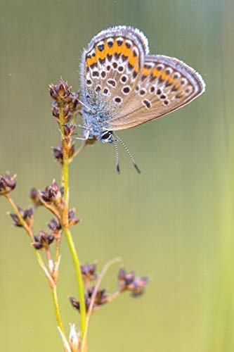 Flutter Butterfly Garden (Notebear: Female Silver Studded Blue Butterfly Preparing For Night Journal - Alternate Lined And Blank Pages (Photo Notebooks & Diaries, Band 15))