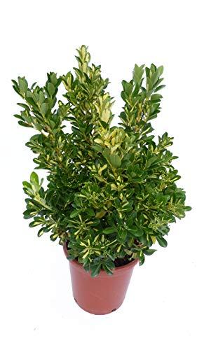 Japanischer Spindelstrauch 'Gold Queen' Euonymus japonicus, winterhart, Heckenpflanze
