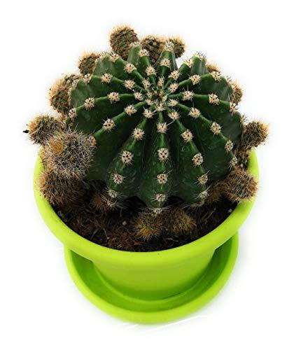 piante grasse vere rare echinopsis esemplare adulto con fioritura vaso verde produzione viggiano cactus