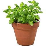 Albahaca Planta Natural con Maceta de Cerámica Planta para Cocinar