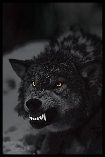 "HUGE laminato, incapsulata Angry Wolf Prowling, misure 91,44 x 24 cm x 60,96 (36"") POSTER, 91,5 x 61 cm"