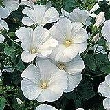ASTONISH Pacchetto semi: 20+ Semi lavatera/Rosa/precoce Bloom