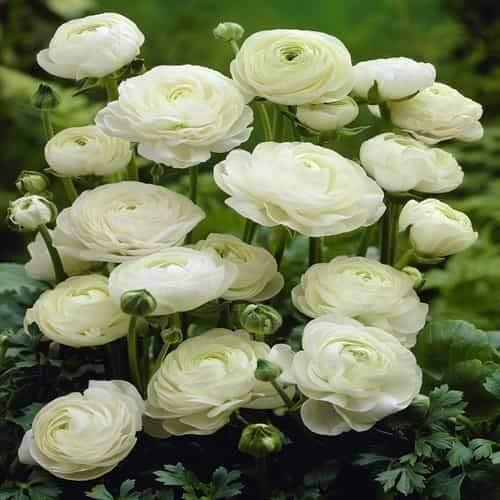 Beautytalk-Garten Riesen Ranunkel Mischung,persische Butterblume winterhart mehrjährig rosa Ranunculus Zierblumen exotische Blumen für Balkon, Garten - Persischen Garten Blumen